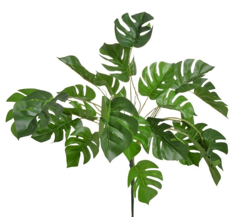 monstera fliodendron.jpg